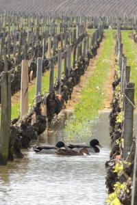 canards dans les vignes